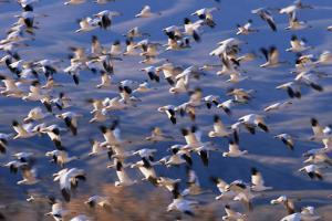 Flock of Snow Geese in Flight by DLILLC