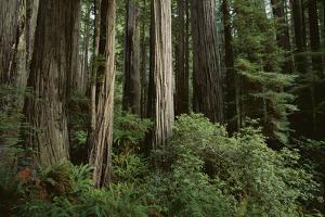 Forest Full of Redwood Trees by DLILLC