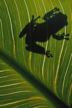 Frog Silhouetted on Leaf by DLILLC