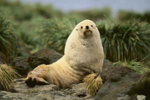 Fur Seal by DLILLC