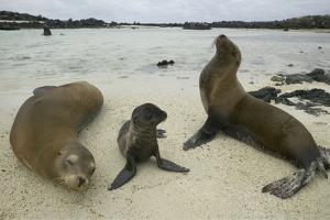 Galapagos Sea Lions and Pup on Beach by DLILLC