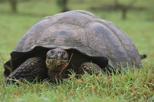 Galapagos Tortoise Eating Grass by DLILLC