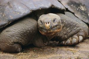 Galapagos Tortoise by DLILLC