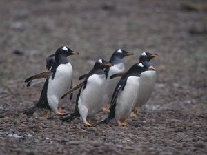 Gentoo Penguins Walking on Rocks by DLILLC