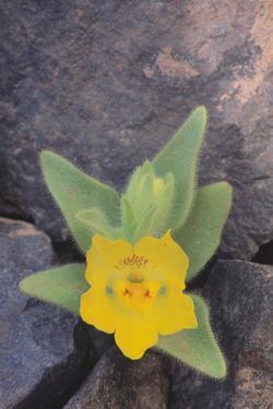 Ghost Flower Growing through Rocks by DLILLC