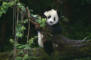 Giant Panda Climbing Tree by DLILLC