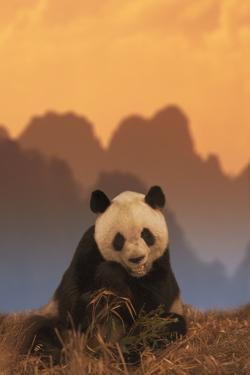 Giant Panda Eating Bamboo by DLILLC