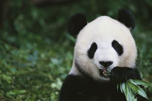 Giant Panda in the Forest by DLILLC