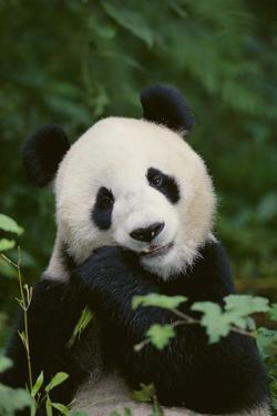 Find Panda Bear Restaurant in Griffin with Address, Phone number from Yahoo US Local. Includes Panda Bear Restaurant Reviews, maps & directions to Panda Bear Restaurant in 2/5(6).