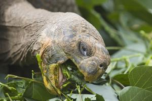 Giant Tortoise Eating by DLILLC