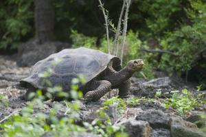 Giant Tortoise by DLILLC