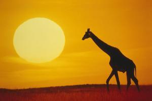 Giraffe at Sunset by DLILLC