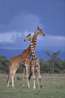 Giraffe Couple by DLILLC