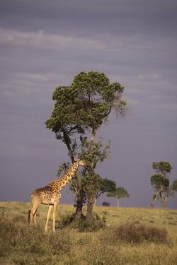Giraffe on the Savanna by DLILLC