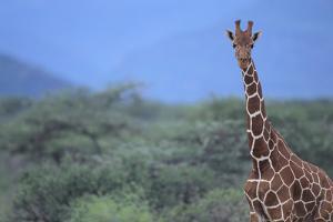Giraffe by DLILLC