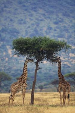 Giraffes Eating Acacia by DLILLC