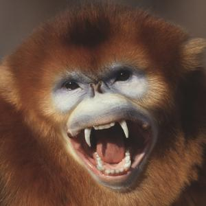 Golden Monkey Snarling by DLILLC