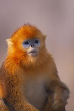 Golden Snub-Nosed Monkey by DLILLC