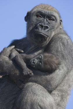 Gorilla Cradling Baby by DLILLC