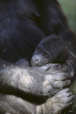 Gorilla by DLILLC