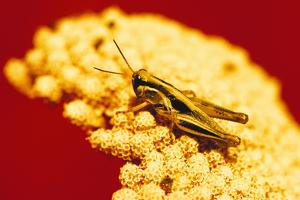 Grasshopper on Yarrow Plant by DLILLC
