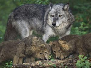 Gray Wolf and Pups by DLILLC