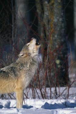 Gray Wolf Howling by DLILLC