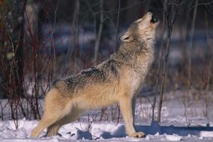 Gray Wolf Howling by DLILLC