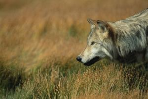 Gray Wolf in Meadow by DLILLC