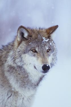 Gray Wolf in Snow by DLILLC
