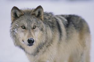 Gray Wolf in Snow by DLILLC