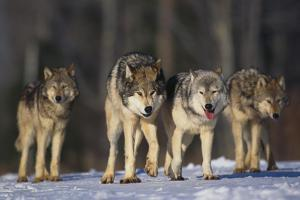 Gray Wolf Pack in Snow by DLILLC