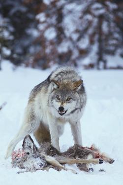 Gray Wolf Snarling over Deer Carcass by DLILLC