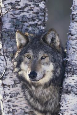 Gray Wolf Standing by Trees by DLILLC
