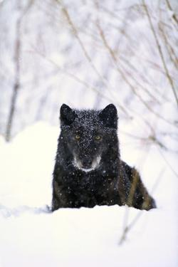 Gray Wolf Waiting in Snow by DLILLC