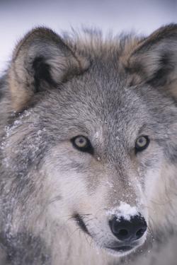 Gray Wolf by DLILLC