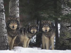 Gray Wolves in Forest by DLILLC
