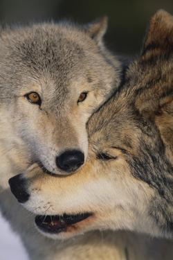 Gray Wolves Nuzzling by DLILLC