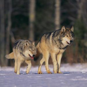Gray Wolves Walking on Snow by DLILLC