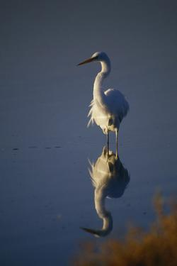 Great Egret and Reflection by DLILLC