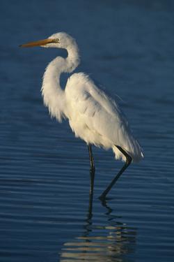 Great Egret Walking in Water by DLILLC