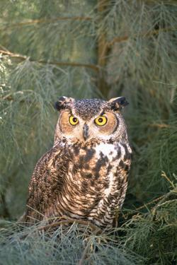 Great Horned Owl in Meadow by DLILLC
