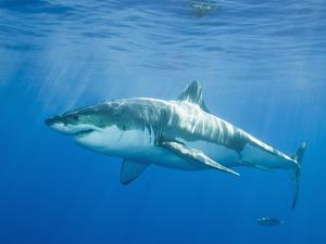 Great White Shark by DLILLC