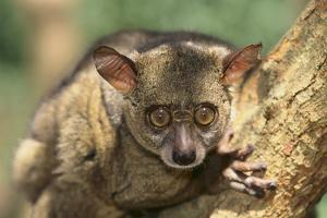 Greater Bush Baby by DLILLC