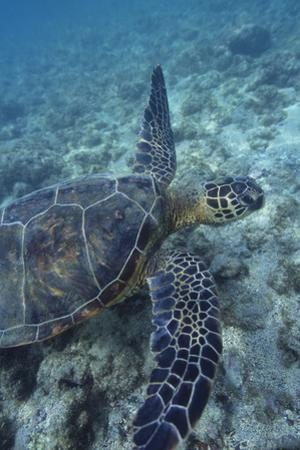 Green Sea Turtle Swimming in Ocean by DLILLC