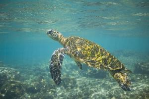 Green Sea Turtle Swimming in Shallow Water by DLILLC