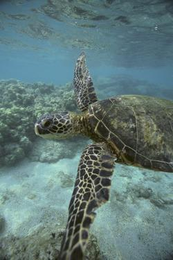 Green Sea Turtle Swimming by DLILLC