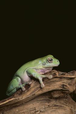 Green Tree Frog by DLILLC