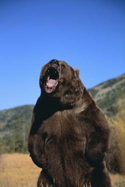 Grizzly Bear by DLILLC