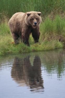 Grizzly by Stream by DLILLC